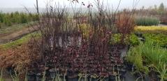 Prunus cistena Проксима