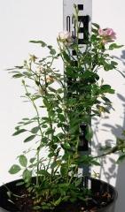 Троянла поліантова Фейрі 5років
