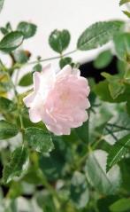 Роза поліантова Фейрі