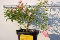Rosa polyantha The Fairy