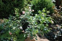 Троянда Фейрі