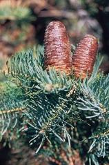 Пихта одноцветная Abies concolor