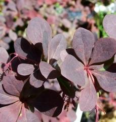 Berberis ottawensis 'Суперба' листья