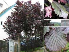 Corylus 'Purpurea'