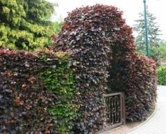 Бук лесной 'Атропуницеа Пурпуреа'