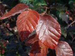 Бук Атропуницеа Пурпуреа лист