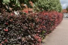 Бук лесной Атропуницеа Пурпуреа живая изгородь