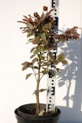 Бук лесной Атропуницеа Пурпуреа 50см