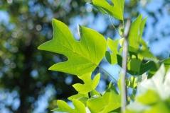 Тюльпановое дерево / Liriodendron tulipifera