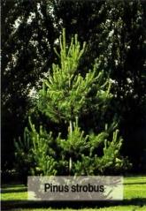 Сосна Веймутова Pinus strobus
