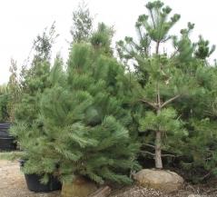 Сосна гималайская (Сосна Гриффита) Pinus wallichiana (Pinus griffithii)