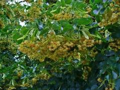 Цветы липы мелколистной