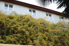 Глициния китайская дерево Украина Никитский ботсад