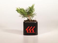 Juniperus sabina Tam no Blight