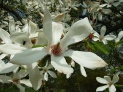 Magnolia kobus цвектение