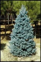 Picea pungens Hoopsi