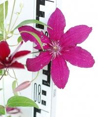 Клематис Рюйтел (цветок)
