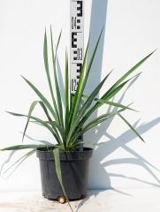 Юкка нитчатая высота растения 40см