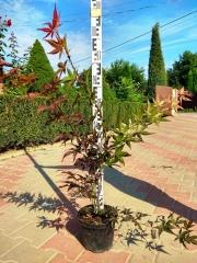 Клён пальмолистный Атропурпуреум 80см