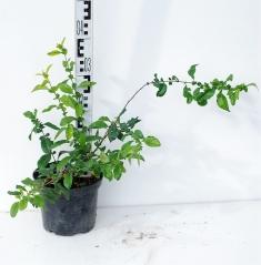 Айва прекрасная Юкиготен высота растения 40см