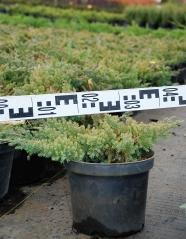 Можжевельник  лежачий Бонин Айслс диаметр растения 40см