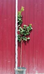 Абрикос Юбилейный высота дерева 1,4м