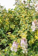 Тимьян лимоннопахнущий Донна Валлей (окраска листьев)