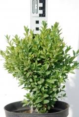 Самшит вечнозеленый Суффрутикоза высота растения 30см