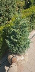 Кипарисовик горохоплодный Бульвар фото