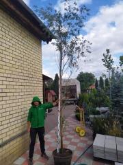 Salix alba  в садовом центре