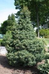 Pinusи Negishi использование в ландшафте