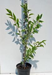 Форзиция средняя Линвуд укорененный голый корень