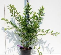 Форзиция Вик Енд высота растения 70см