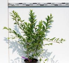 Форзиция Вик Енд диаметр растения 65см