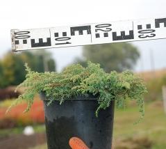 Можжевельник обыкновенный Грин Карпет диаметр растения 30см