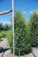 Можжевельник обыкновенный Хиберника 160см