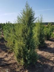 Juniperus communis уход