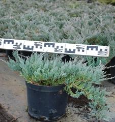 Можжевельник горизонтальный Блю Чип диаметр растения 50см