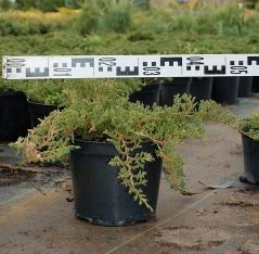 Можжевельник горизонтальный Принц Уэльский диаметр растения 50см