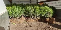Buxus sempervirens описание