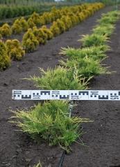 Можжевельник средний Олд Голд диаметр растения 40см