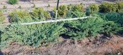 Можжевельник чешуйчатый Блю Карпет / Juniperus squamata Blue Carpet