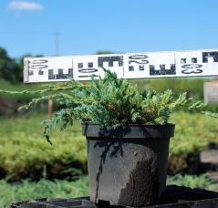 Можжевельник Блю Карпет в садовом центре