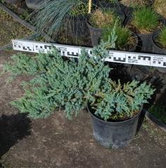 Juniperus squamata 'Blue Carpet' купить Киев