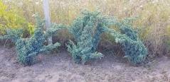Можжевельник чешуйчатый 'Мейери' фото