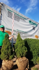 Picea glauca 'Conica' Ель канадская 'Коника' фото