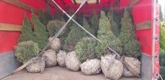 Picea glauca 'Conica'с комом