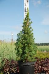 Picea Conica 55-60см
