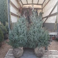 Picea omorika Ель сербская цена