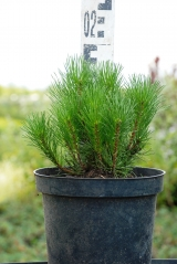 Pinus mugo Pumilio купить